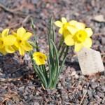 Narcissus rupicola